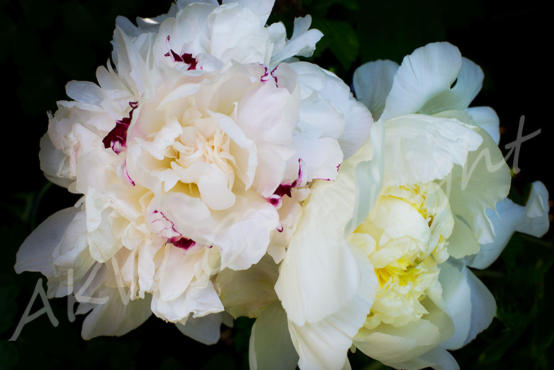 Cream Peonies l Giclee Limited Edition Print