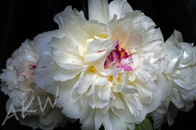 Cream Peony Giclee Print l Anna Killgour-Wilson