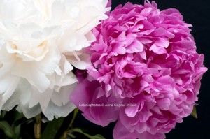 Peonies l Fine Art Flower Photography l Anna Killgour-Wilson