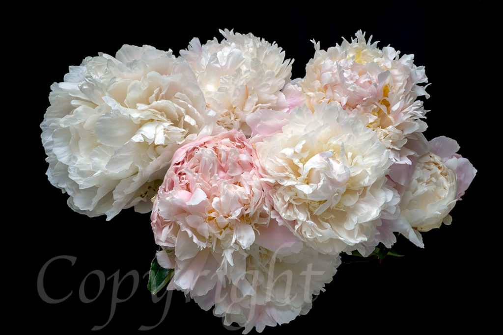 Pastel Peonies Limited Edition Art Print