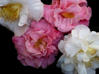 Camellia Limited Edition Print