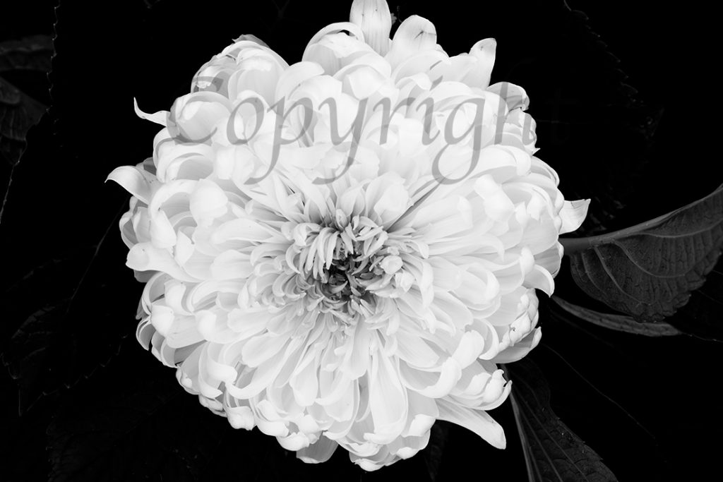 Black & White Chrysanthemum L Limited Edition Art  Print
