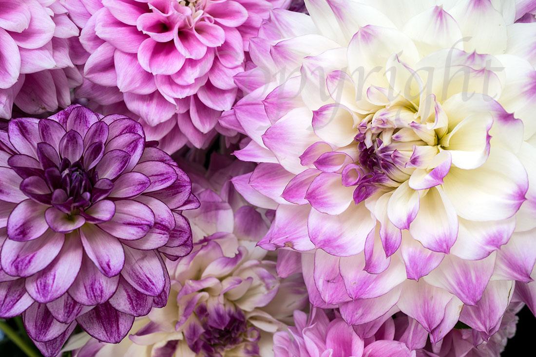 Dahlia Fine Art Floral Print