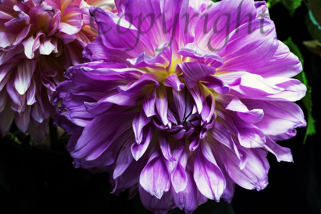 Purple Dahlia   Flower Art Print