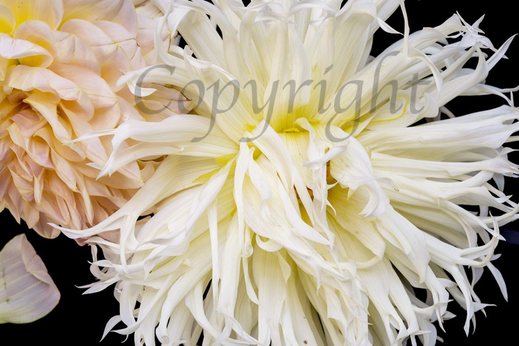 Blush Dahlia Limited Edition Print