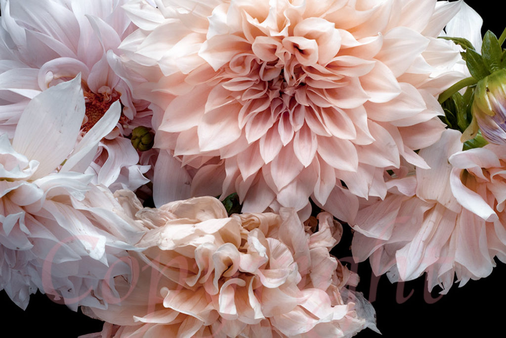 Blush Dahlias Fine Art Print