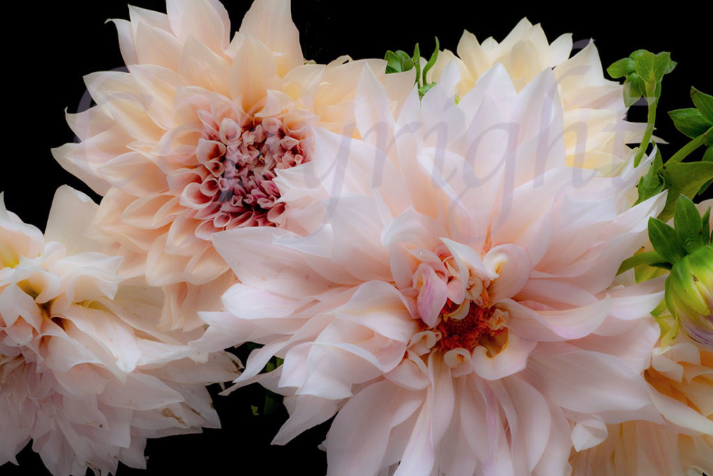 Dahlia Limited Edition Art Print l in stock now at Allium Interiors, Auckland