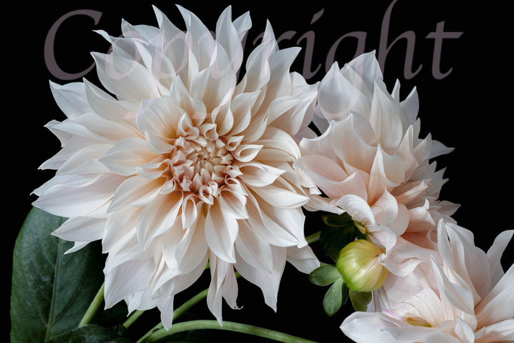 Dahlia Limited Edition Art Print