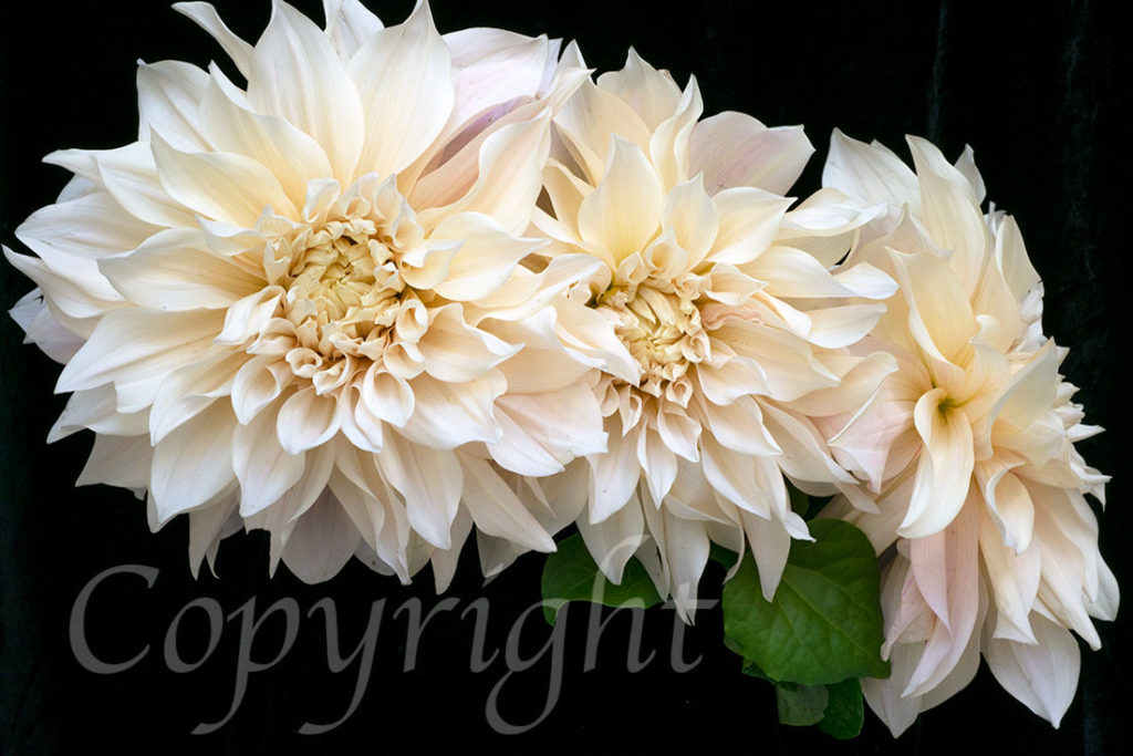 Cafe au Lait Dahlia Limited Edition Print