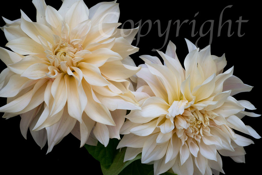 Cafe au Lait Dahlia Limited Edition Art Print
