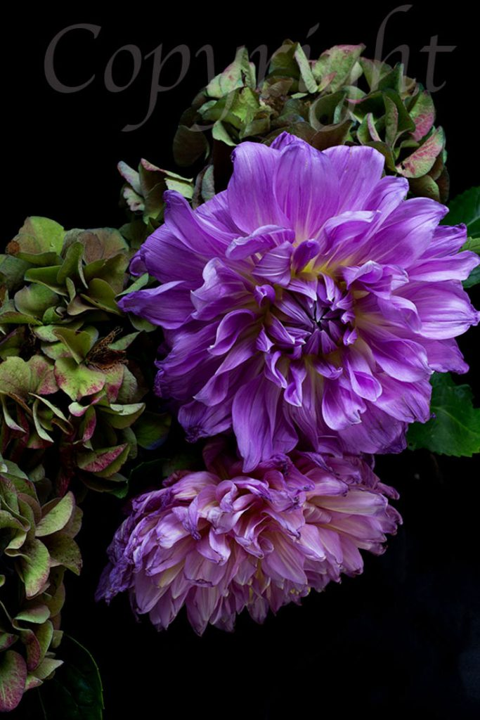 Purple Dahlia and Hydrangea Flower Art Print