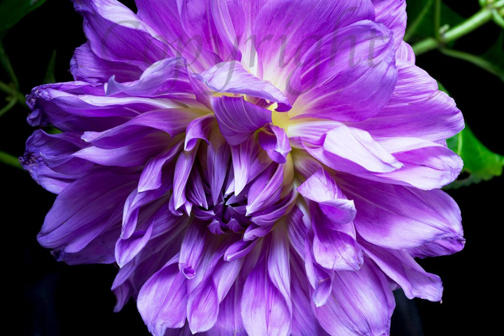 Purple Dahlia Limited Edition Art Print
