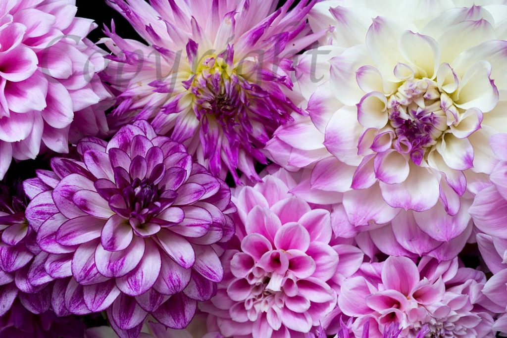 Dahlia Fine Art Limited Edition Print
