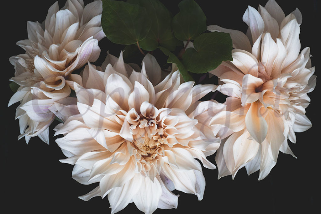 Cafe au Lait Dahlias l Fine Art Print l in store at Allium Interiors