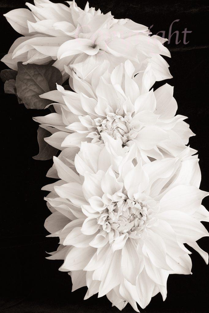 Dahlias l Fine Art Floral Print