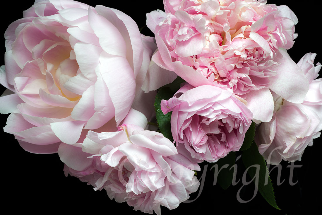 Peonies & Roses Limited Edition Art Print
