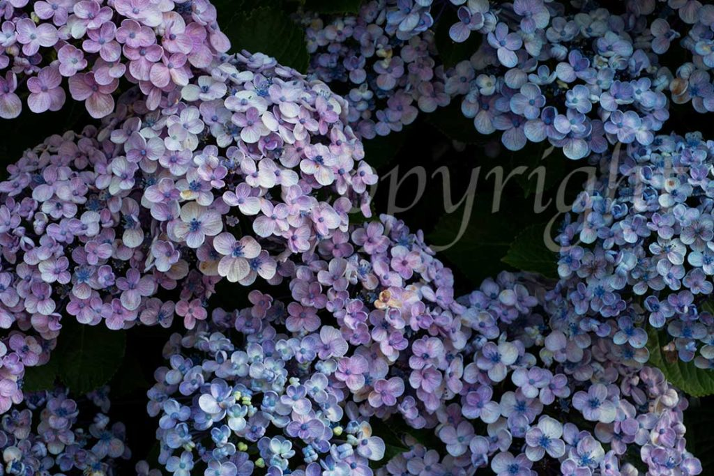 Hydrangeas Limited Edition Art Print