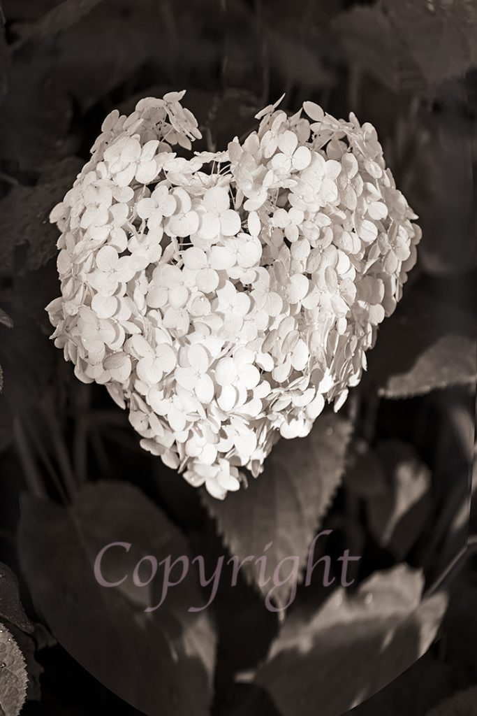 Hydrangea Black and White Art Print