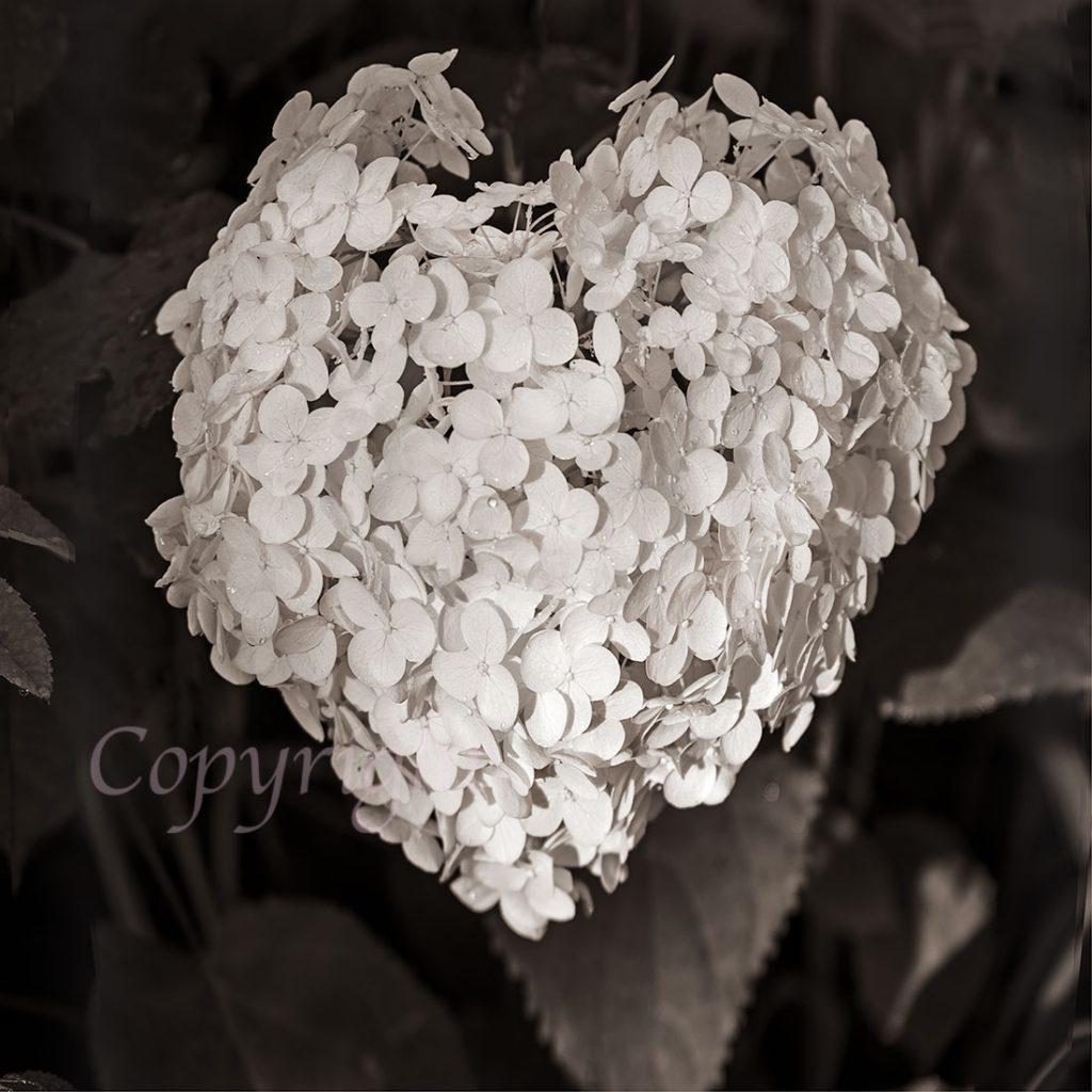 White Hydrangea Floral Art Print