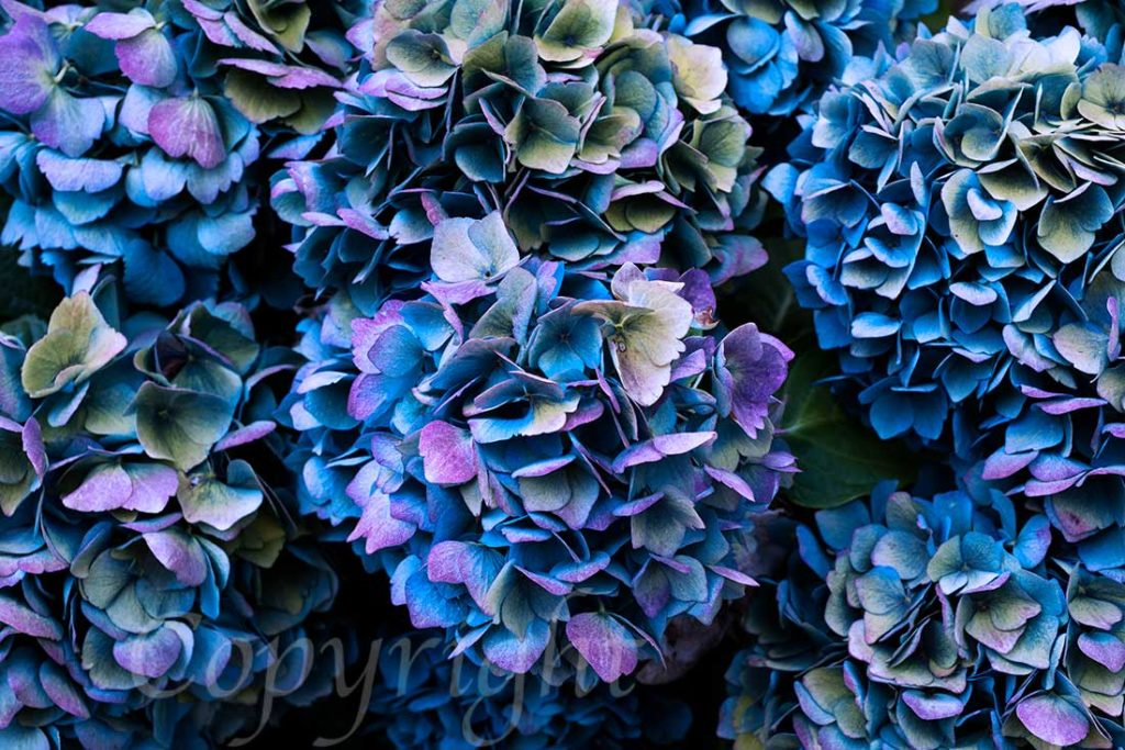 Hydrangea Limited Edition Art Print