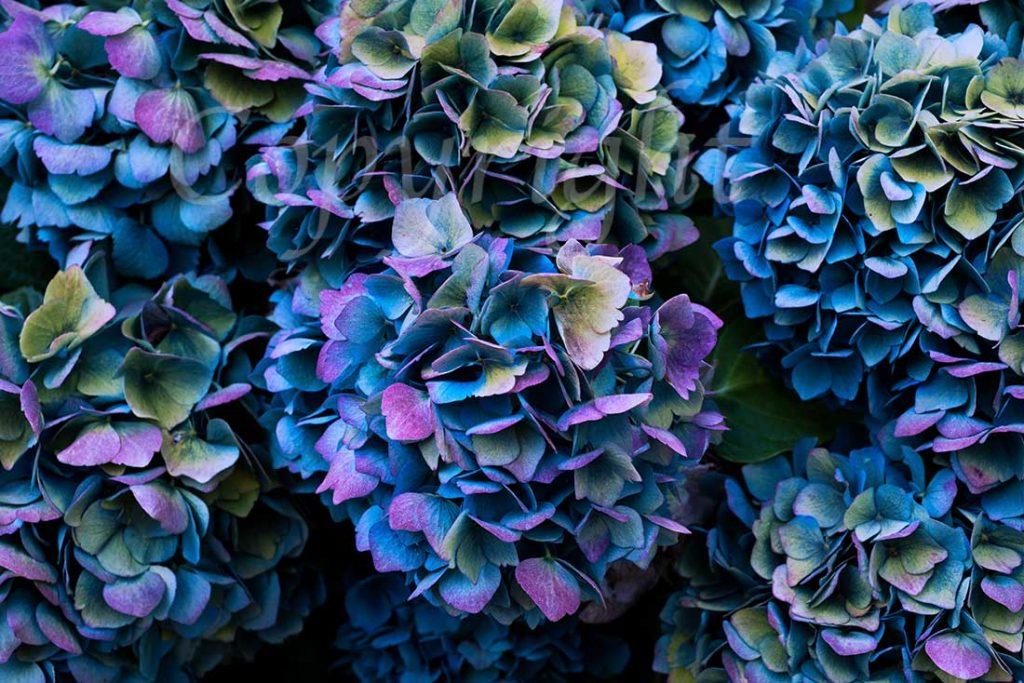 Hydrangeas Floral Art Print l Anna Killgour-Wilson l Giclee Print
