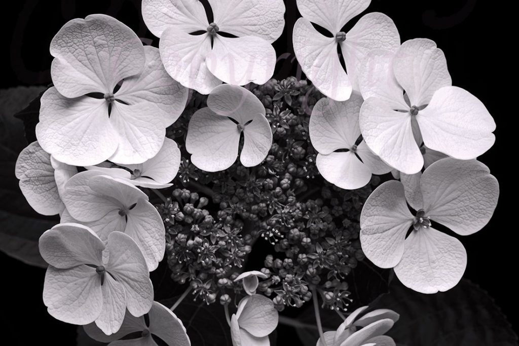 Lace-cap Hydrangea l Limited Edition Art Print