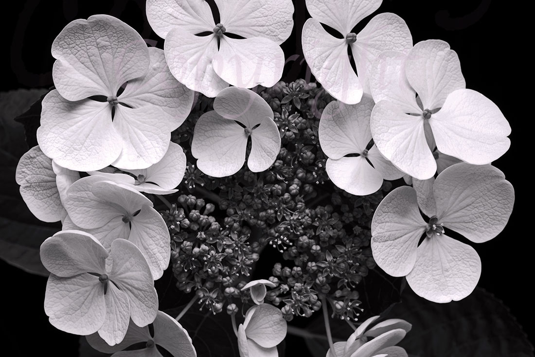 Black & White Hydrangea Art Print