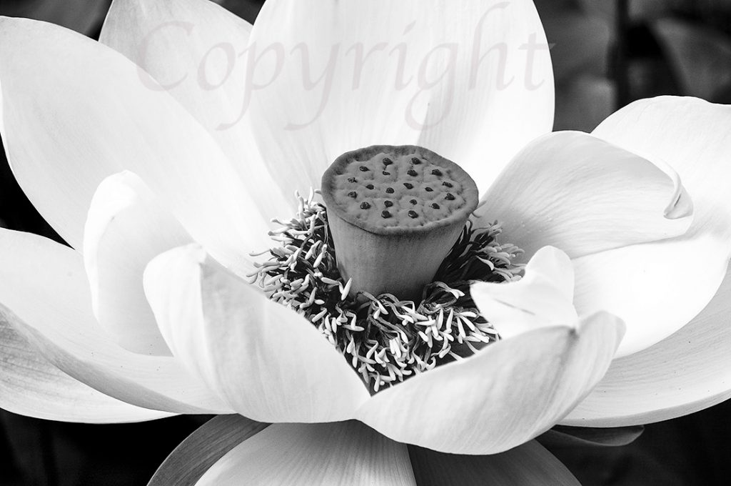 Lotus Flower l Limited Edition Art Print