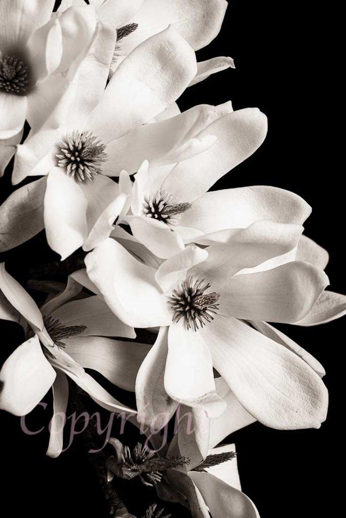 Magnolia Floral Art Print