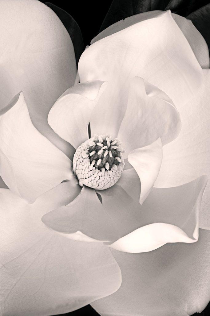 Magnolia Limited Edition Art Print