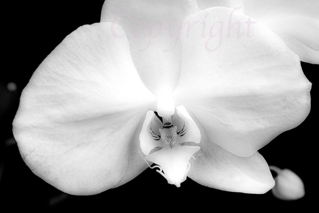Orchid BW fine Art Print