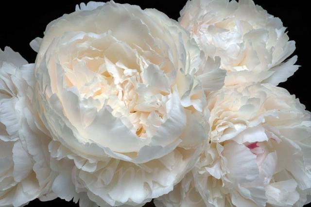 White Peony Giclee Print l Anna Killgour-Wilson