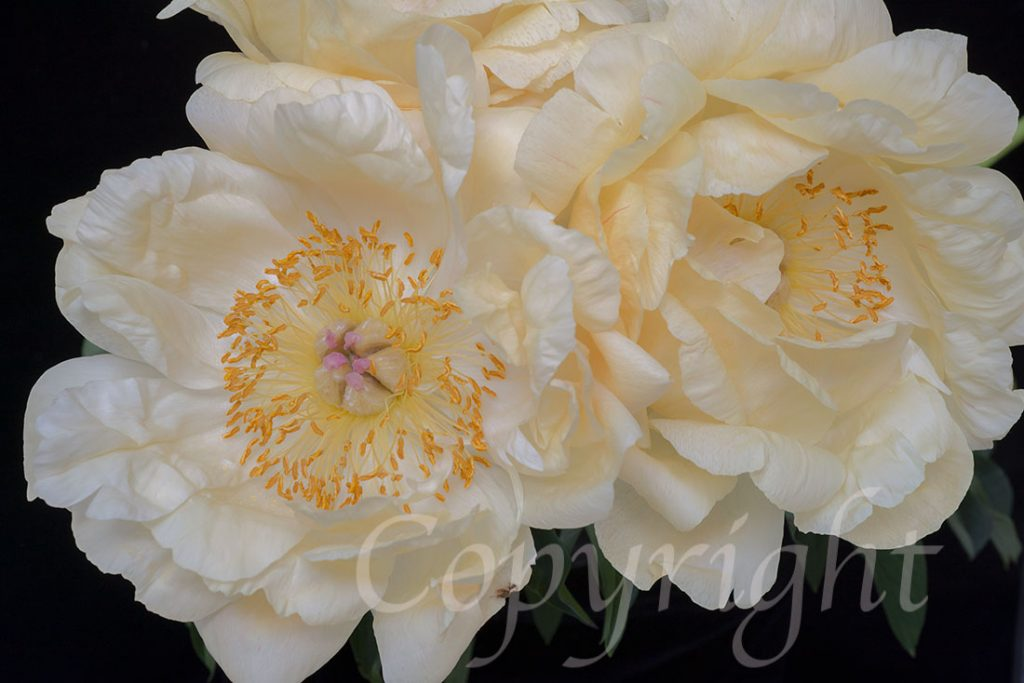 Peonies Limited Edition Art Print