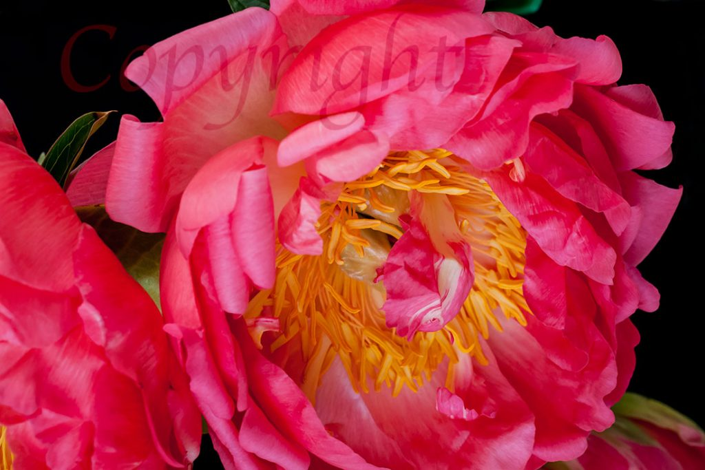 Coral Peony l Giclee Fine Art Print