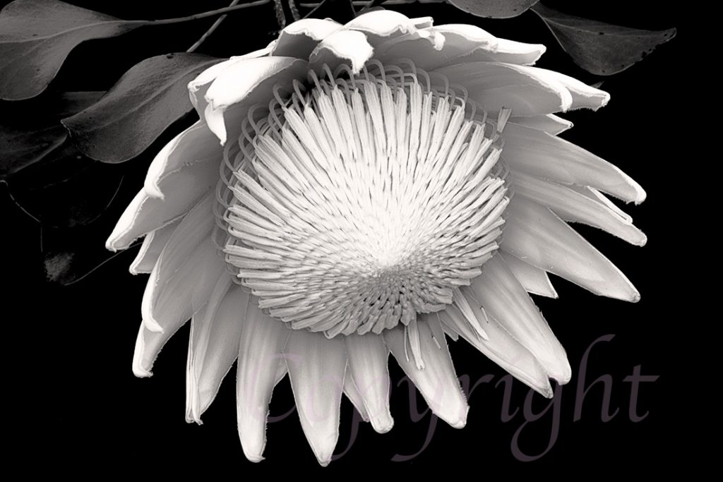 White King Protea l  Fine Art Print