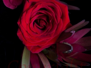 Red Rose Fine Art Print