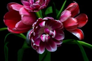 Tulip Fine Art Print l Anna Killgour-Wilson