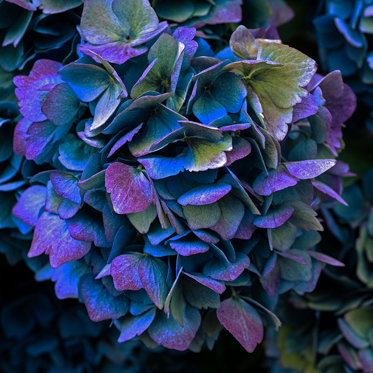 Blue Hydrangea l Limited Edition Flower Print