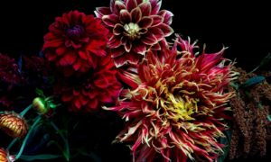 Dark Dahlias Limited Edition Print