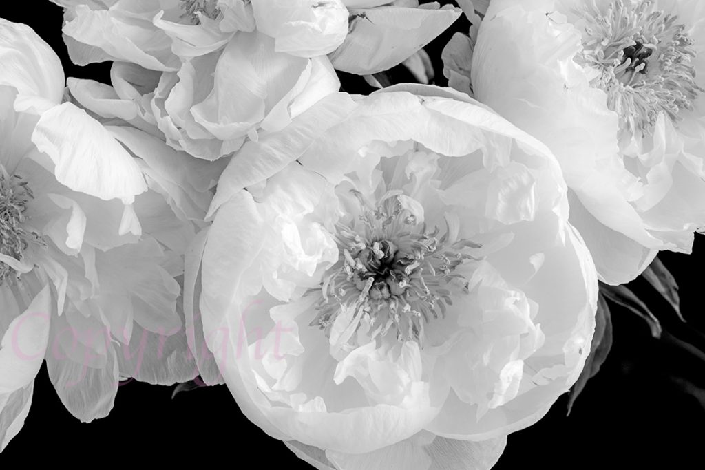 Peony Limited Edition Art Print