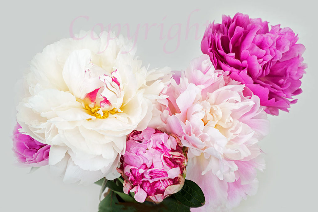 Pink Peony Limited Edition Flower Print