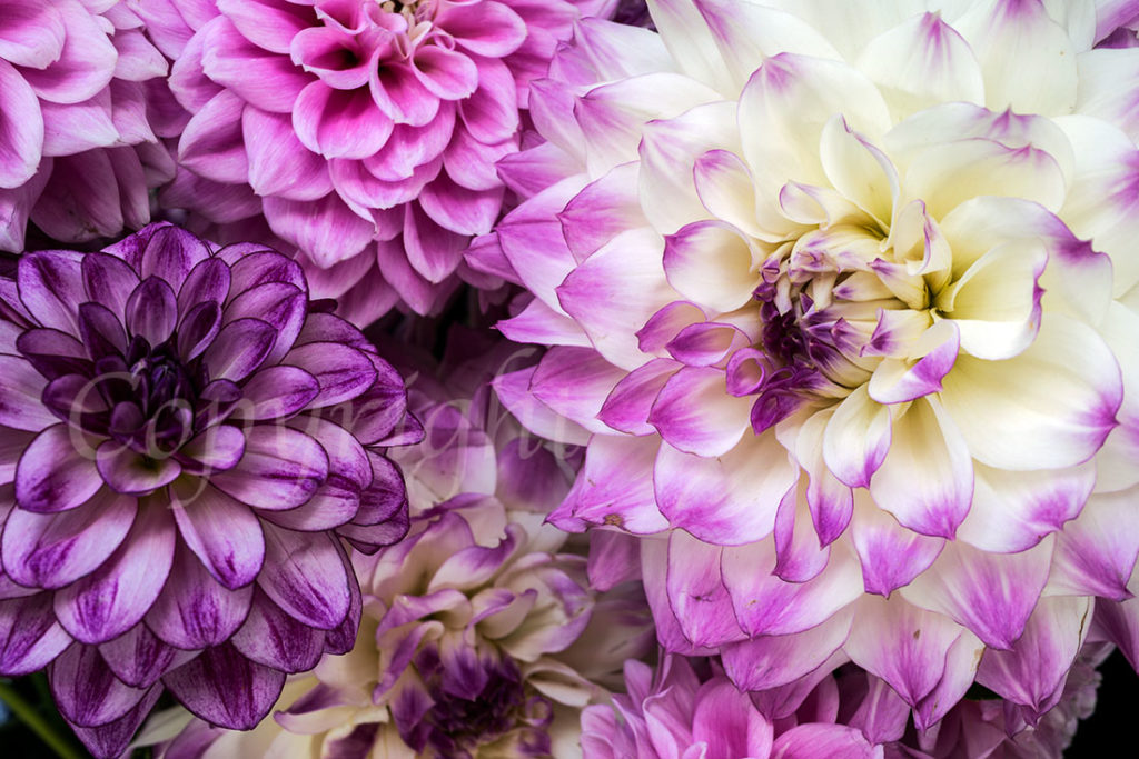 Purple and Mauve Dahlias l Flower Fine Art Print