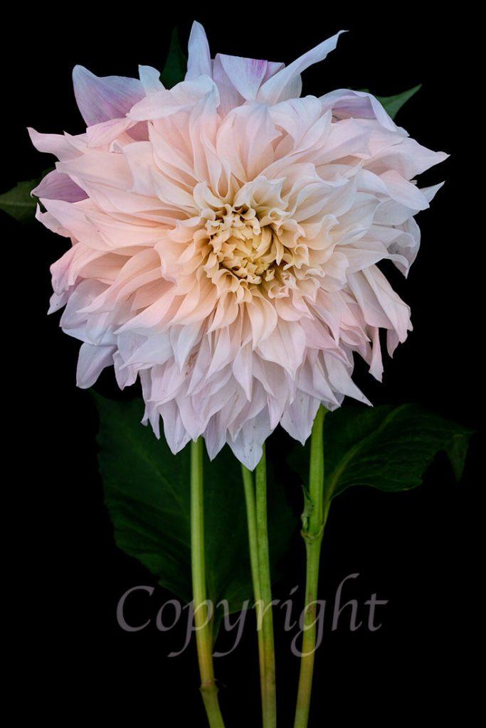 Dahlia Fine Art Flower Print