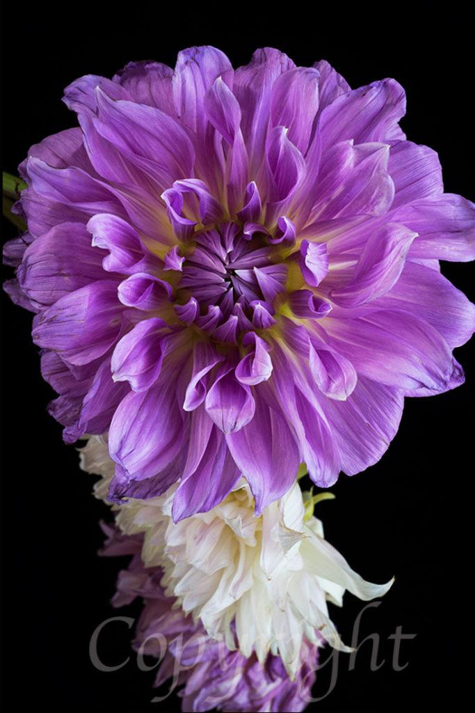 Purple Dahlia l Fine Art Floral Print
