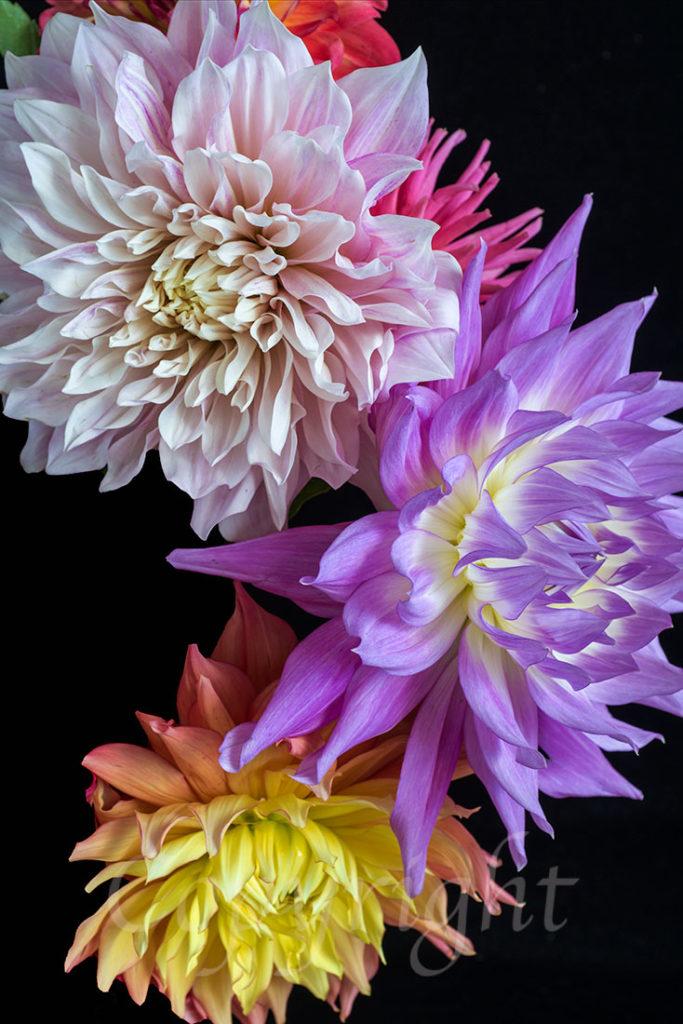 Dahlia Floral Art Print