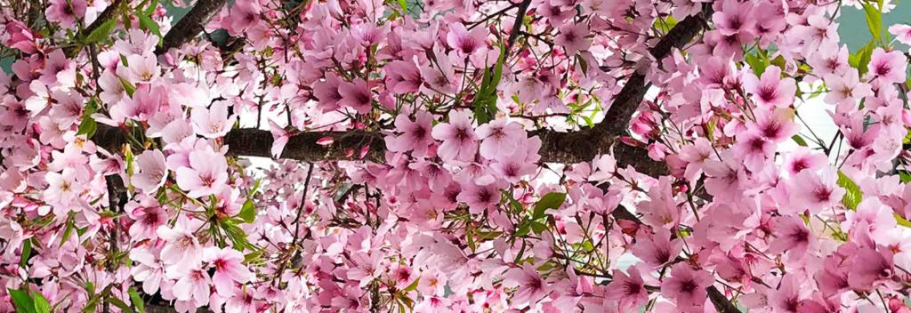 Pink Blosssoms