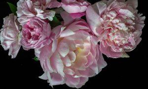 Peonies Floral Art Print