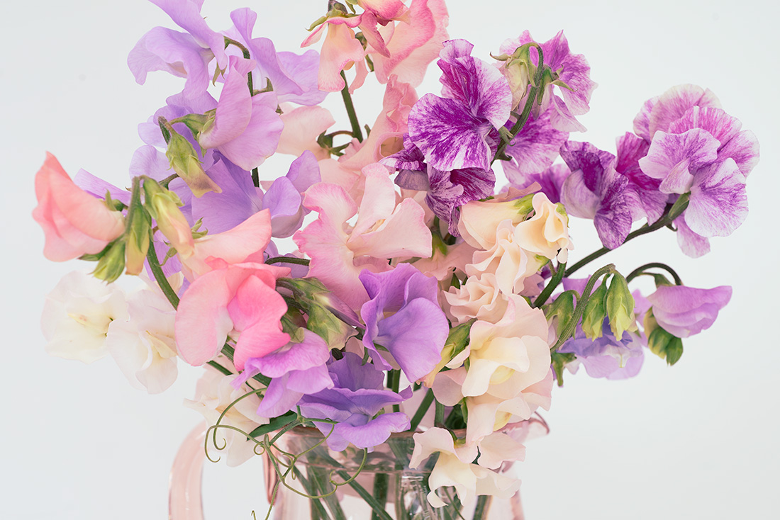 Sweetpeas by Anna Killgour-Wilson