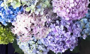 Hydrangea Pastels